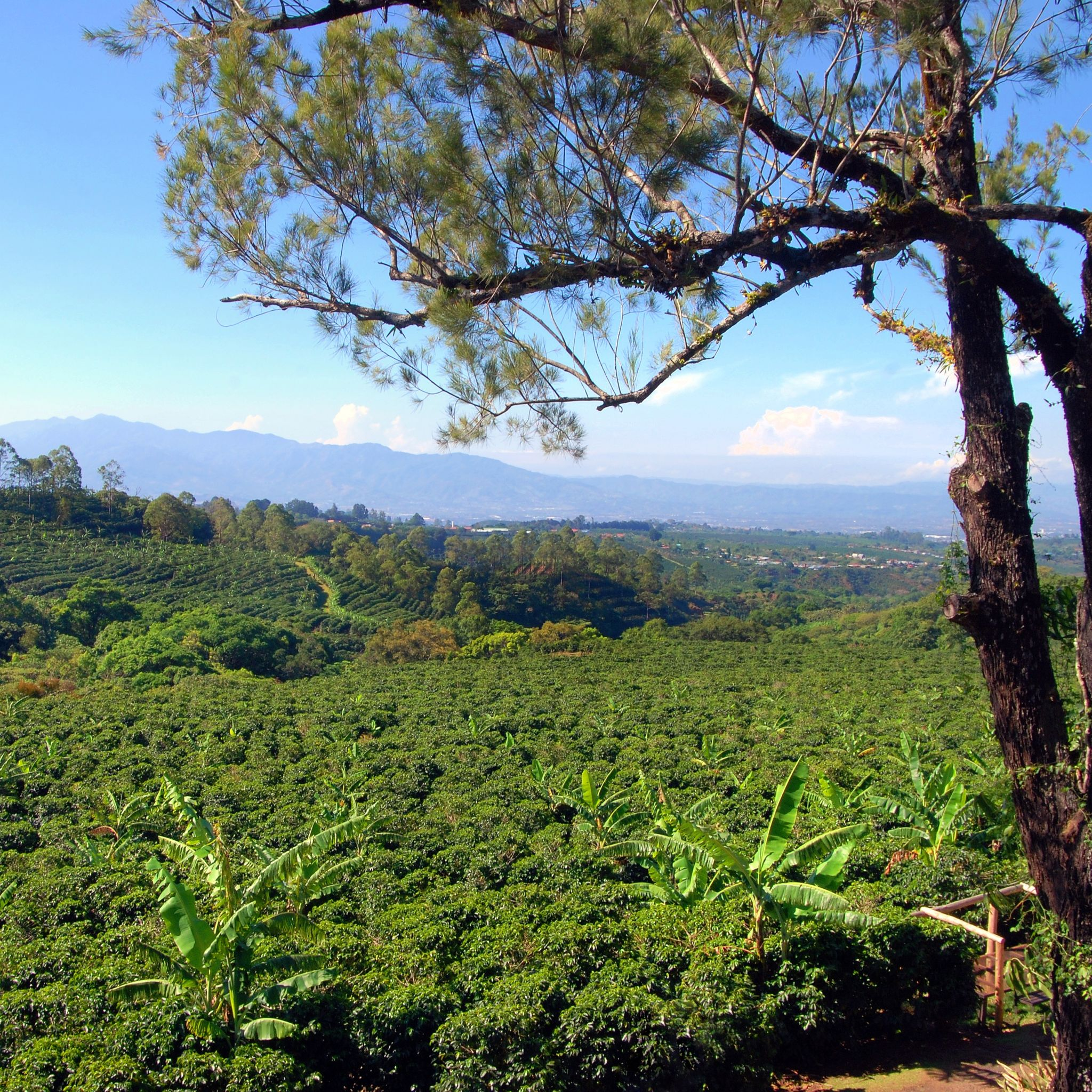 Coffee Trees: The Natural Pesticide